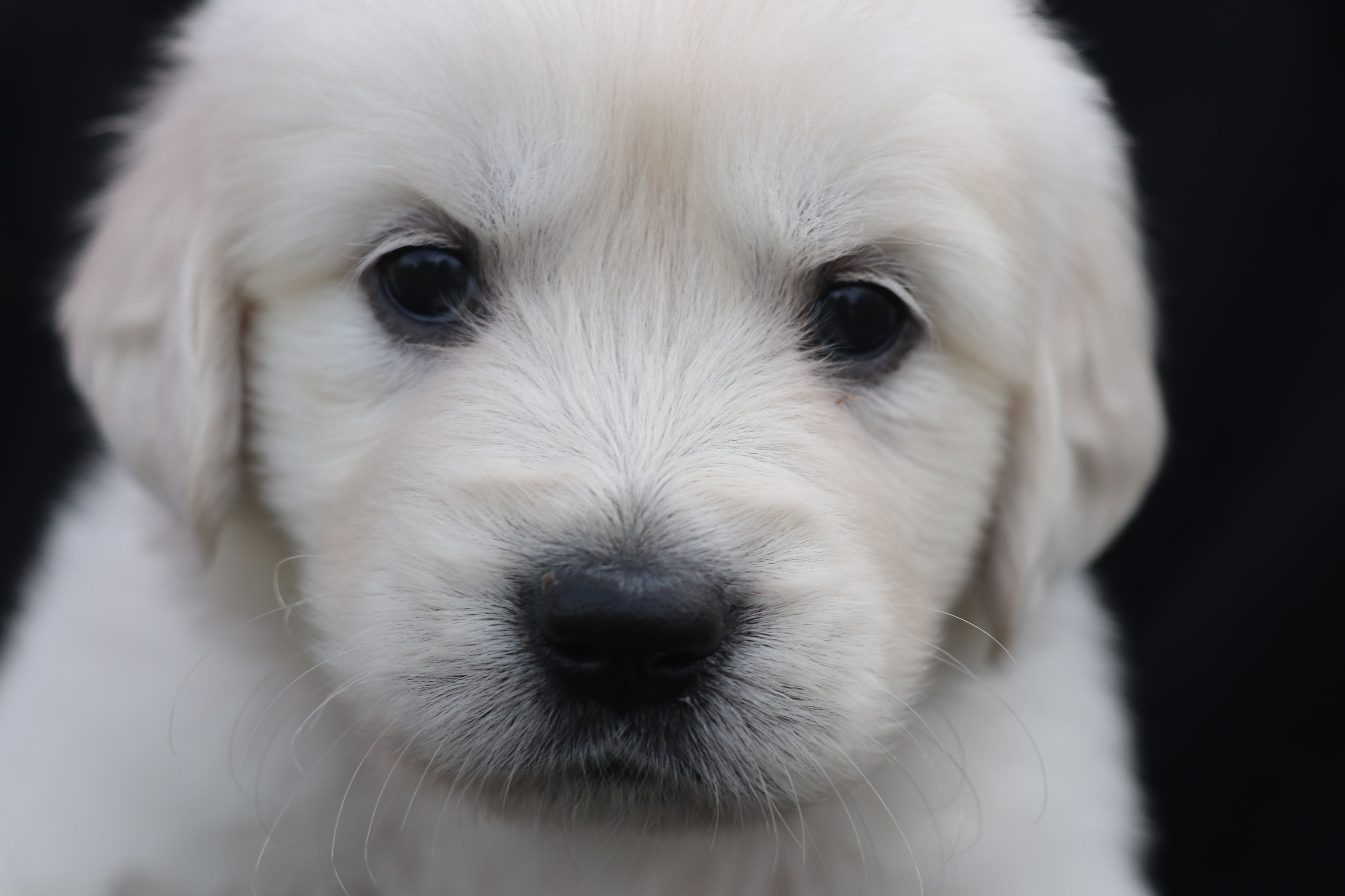 Rosie Akc Golden Retriever Puppy North Manchester Indiana