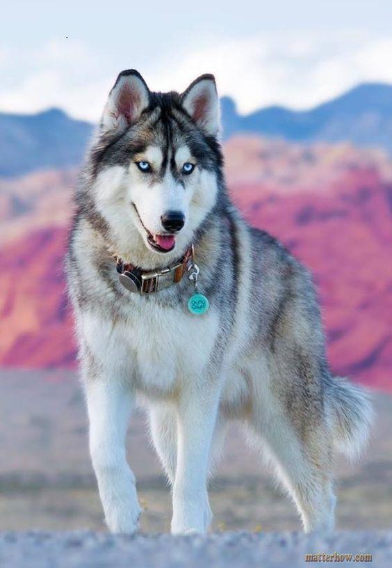 Shepherd husky