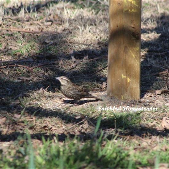 Backyard Bird Identification - Faithful Homesteader Blog ...