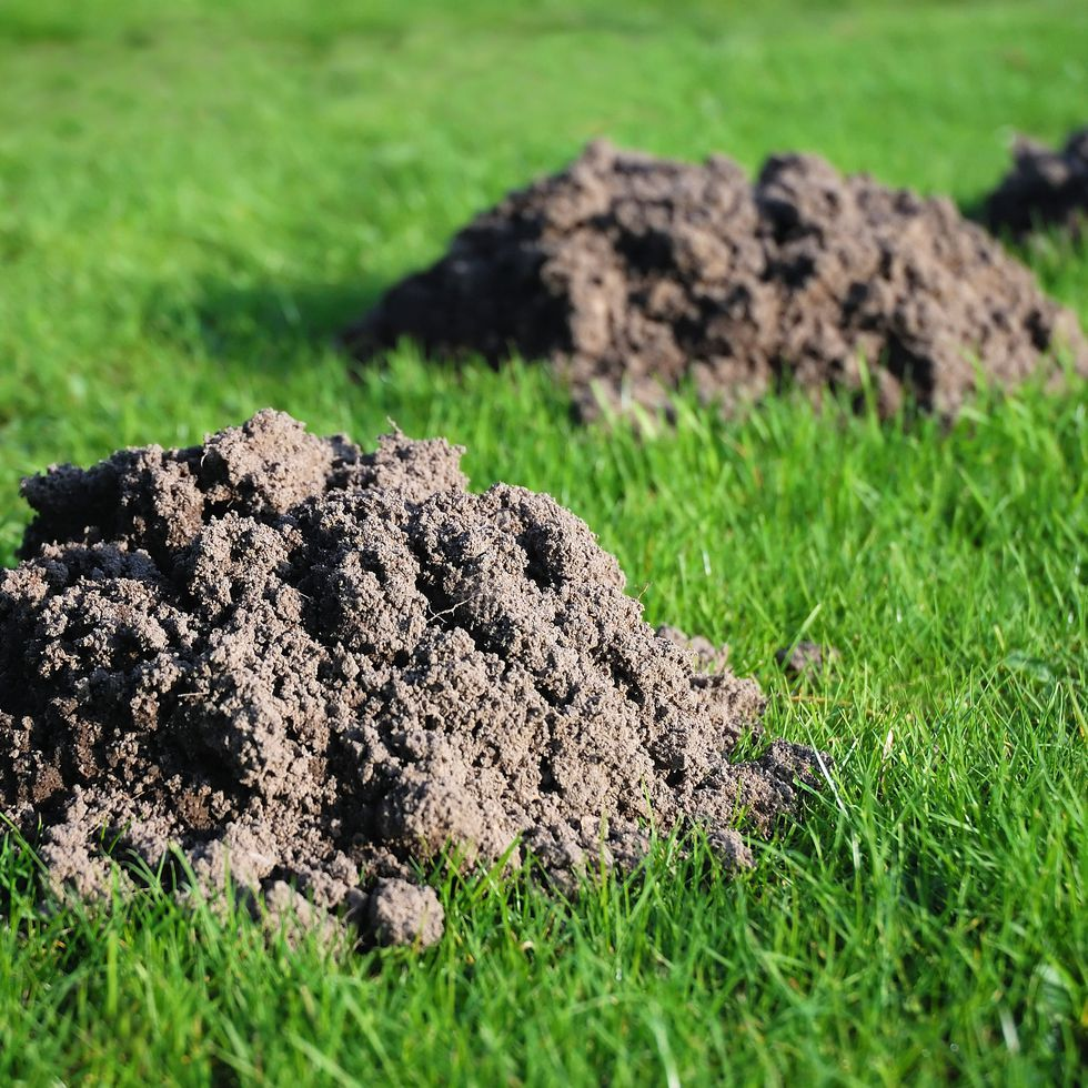 This Is The Easiest Way To Get Rid Of The Moles In Your Yard Moles In Yard Mole Removal Yard Mole Repellent
