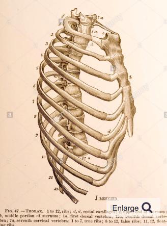 Side View Skeleton Human Rib Cage Human Ribs Human Anatomy Picture