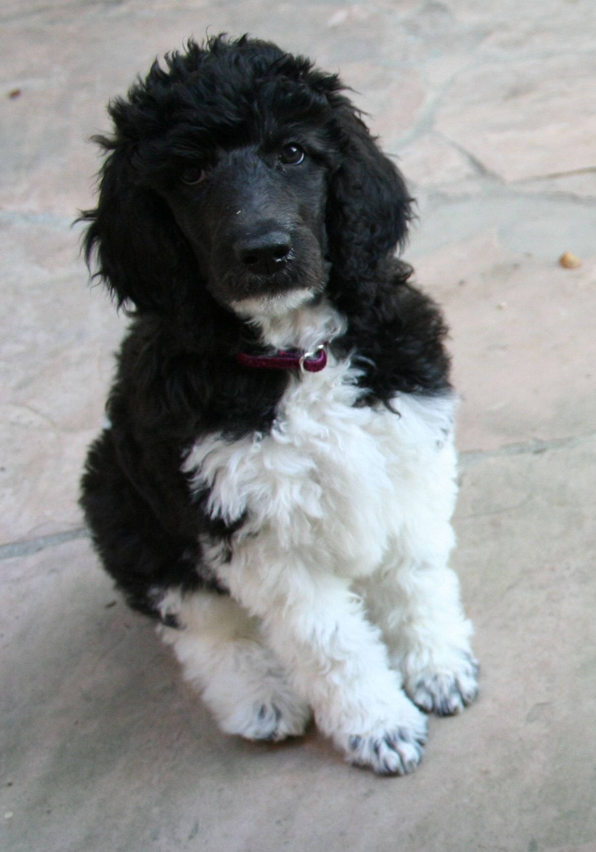 Standard poodle puppy black and white coat too cute pinterest