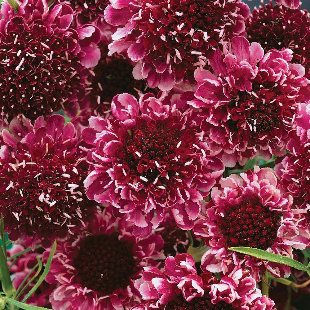 Scabious 'Beaujolais Bonnets' (Garden Ready) - Cottage ...