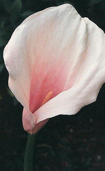 Pin By Bloomsybox On Gardening Zantedeschia Zantedeschia Aethiopica Vibrant Flower