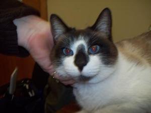 Adopt Samuel On Cats Siamese Cats Humane Society Cats