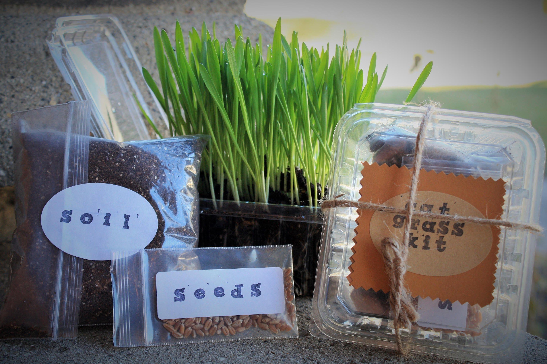 Wheatgrass,Wheat Grass Seeds,Edible Grass,bunny treats