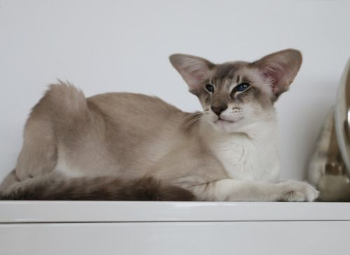 Blue Tabby Point Balinese Cat Pretty Cats Cat Colors