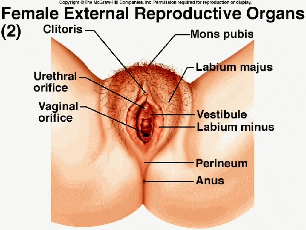 Human Female Reproductive Organs External Female Reproductive System