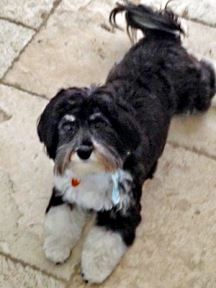 Pin by Havanese Rescue on Havanese Rescue Dogs | Rescue dogs