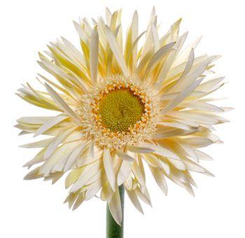 Pin By Dorinda Baca On Wedding Ideas Gerbera Flower Gerbera Parts Of A Flower