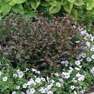 Buy Weigela Fine Wine Shrubs Online. Garden Crossings Online Garden Center offers a large selection of Weigela Plants. Shop our Online Shrub catalog today!