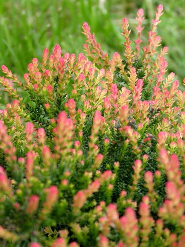 Heather Spring Torch Calluna Vulgaris This Heather Is One Of The