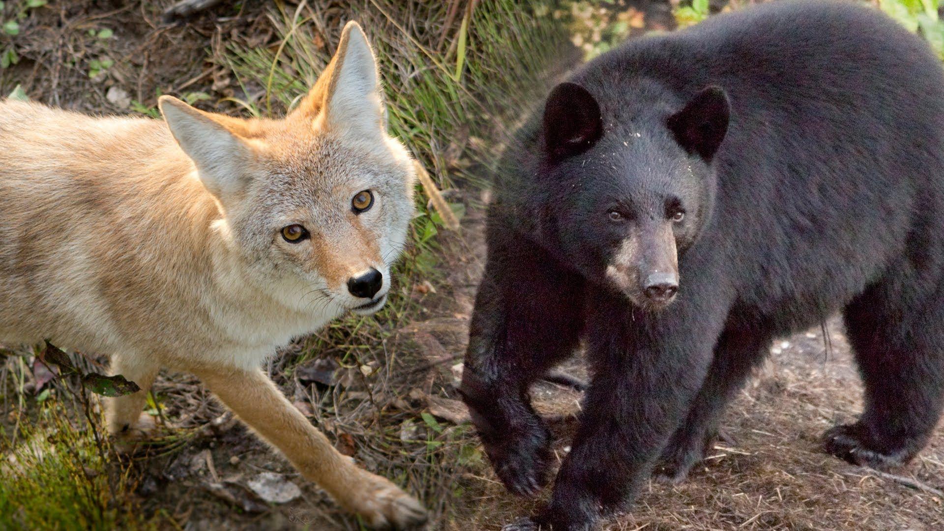 Coyote Vs Bear - YouTube   coyote   Bear, Black Bear, Fox