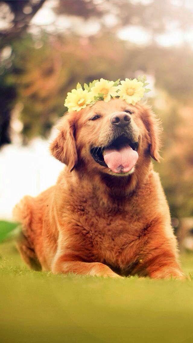 Cute golden retriever puppy with a crown | mascotas | Dogs ...