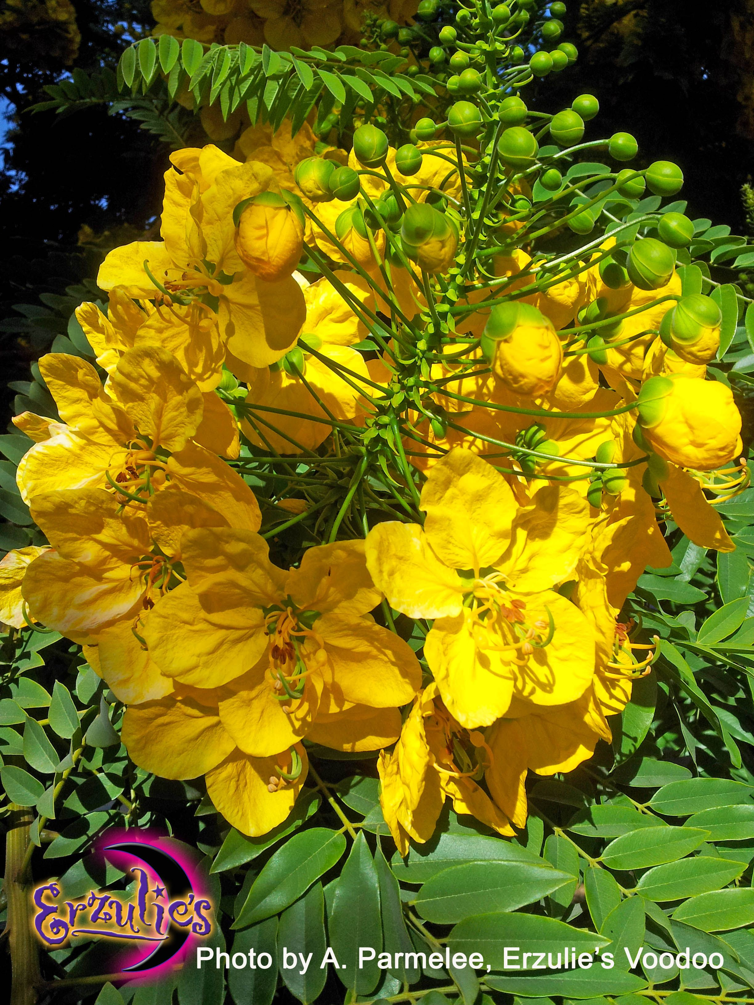 Close Up Of These Exotic Yellow Hanging Flowers Erzulies