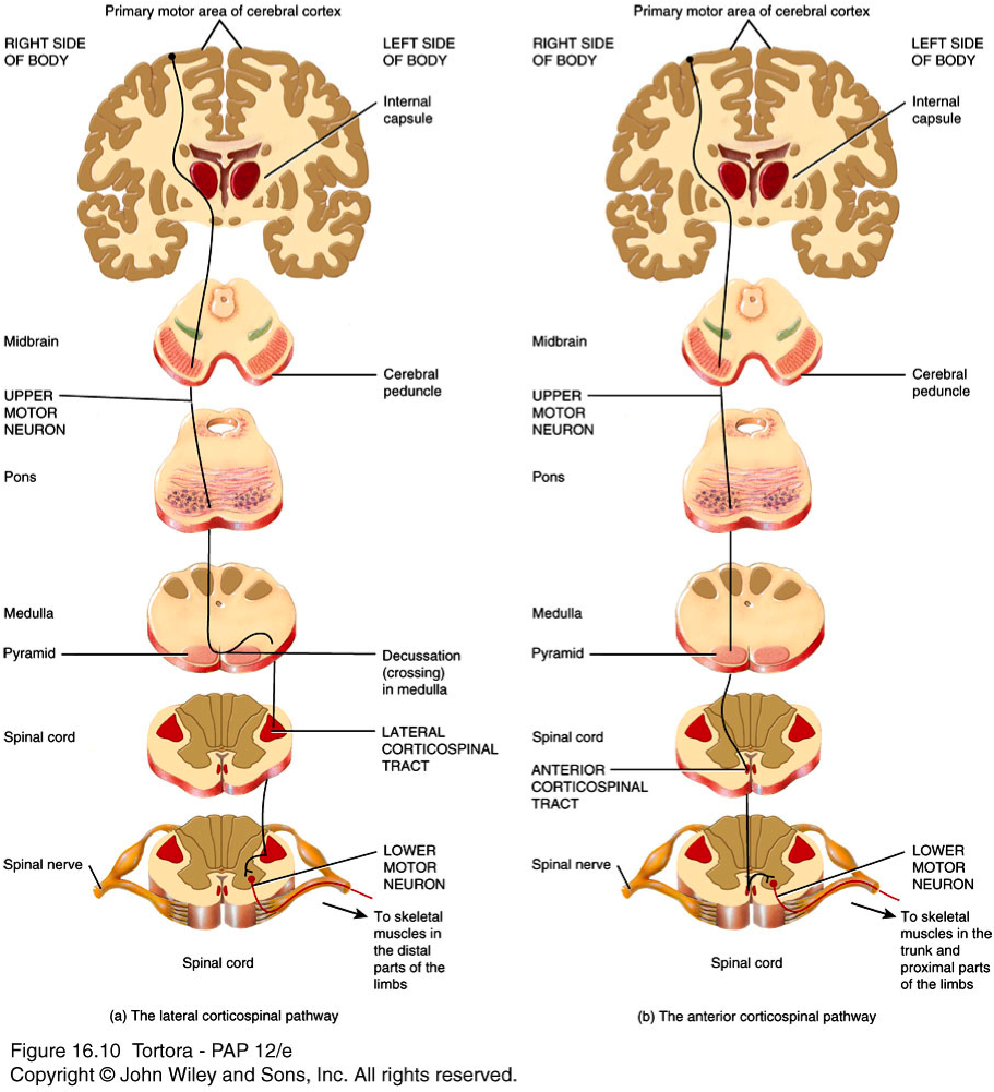 corticobulbar tract and corticospinal tracts - Google Search ...