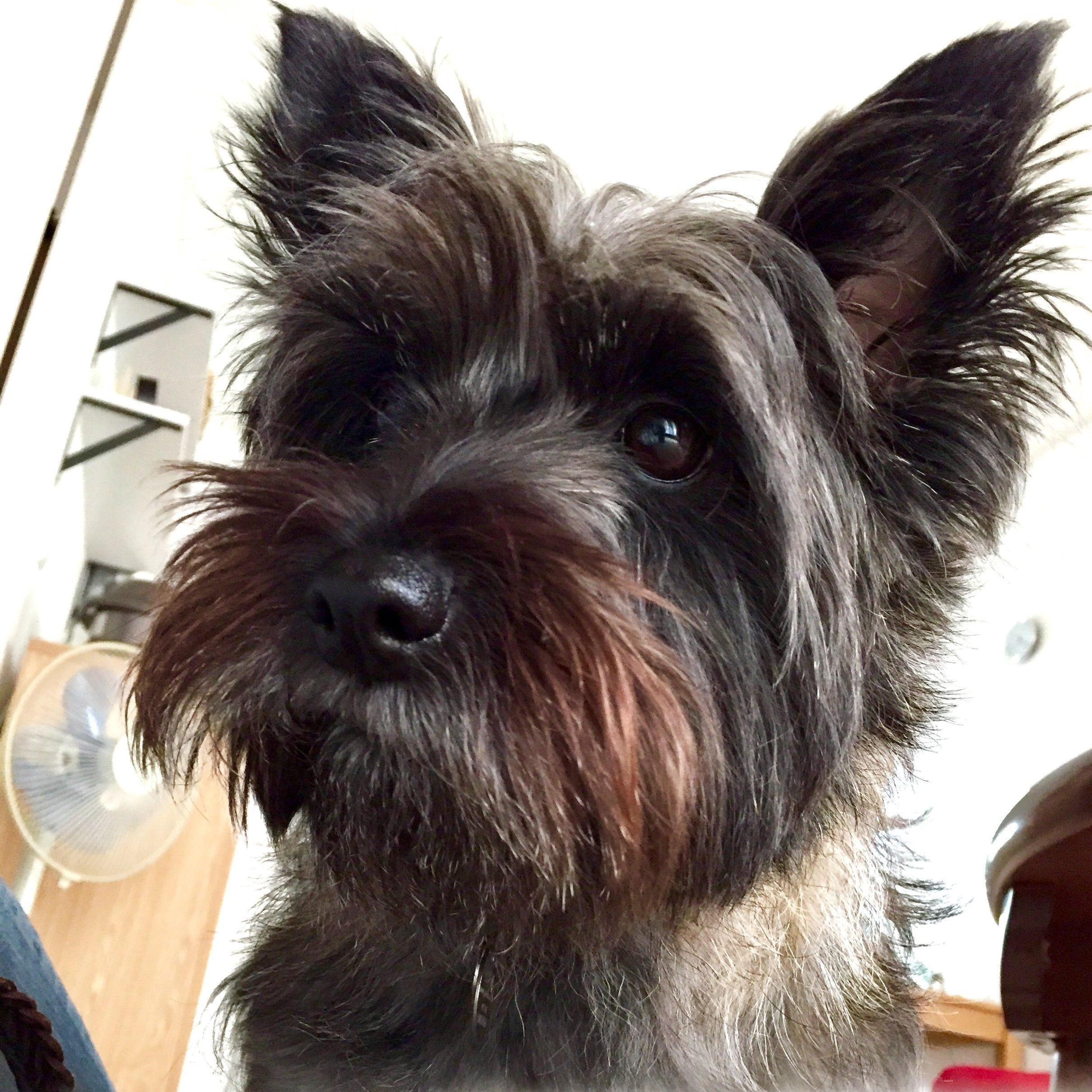 Pin By Craig Cramer On Cairn Terriers Cairn Terrier Puppies