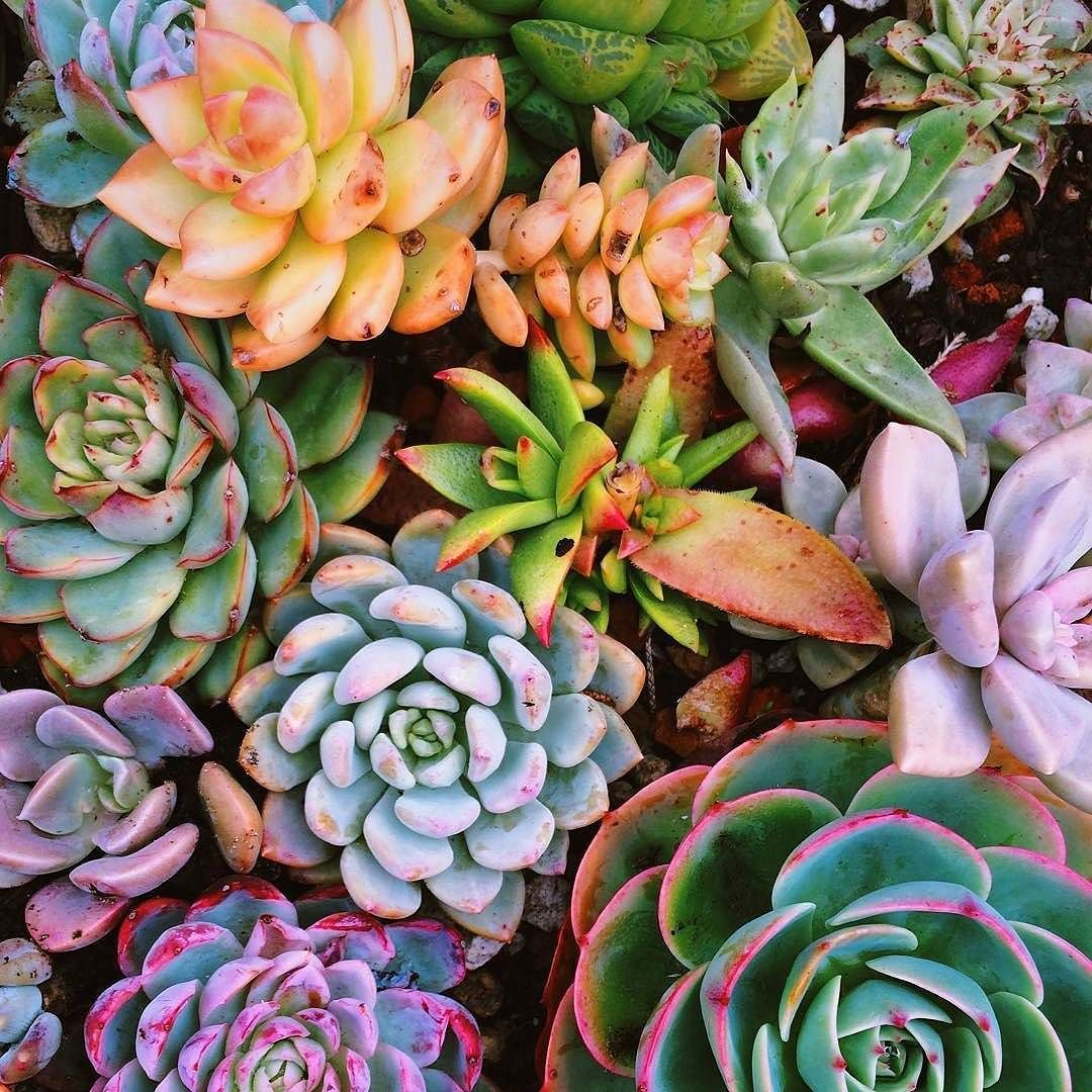 The most colorful #succulents of all time? Likely. (Regram: @deepseababyy