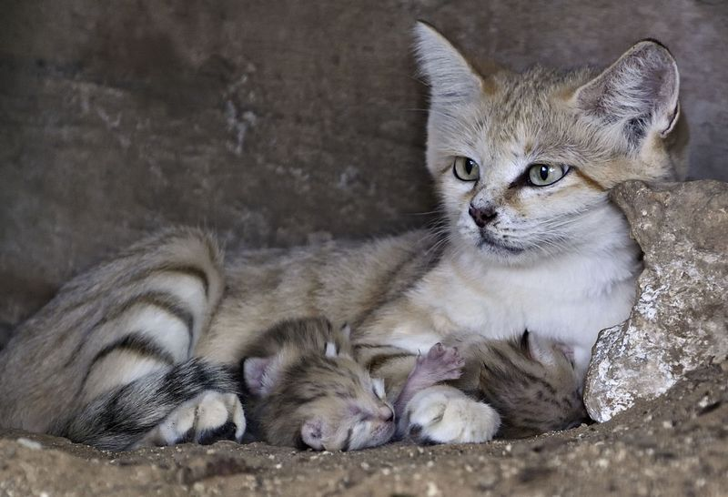 Sand Cats Live In Egypt Morocco And The Sinai Peninsula Sand