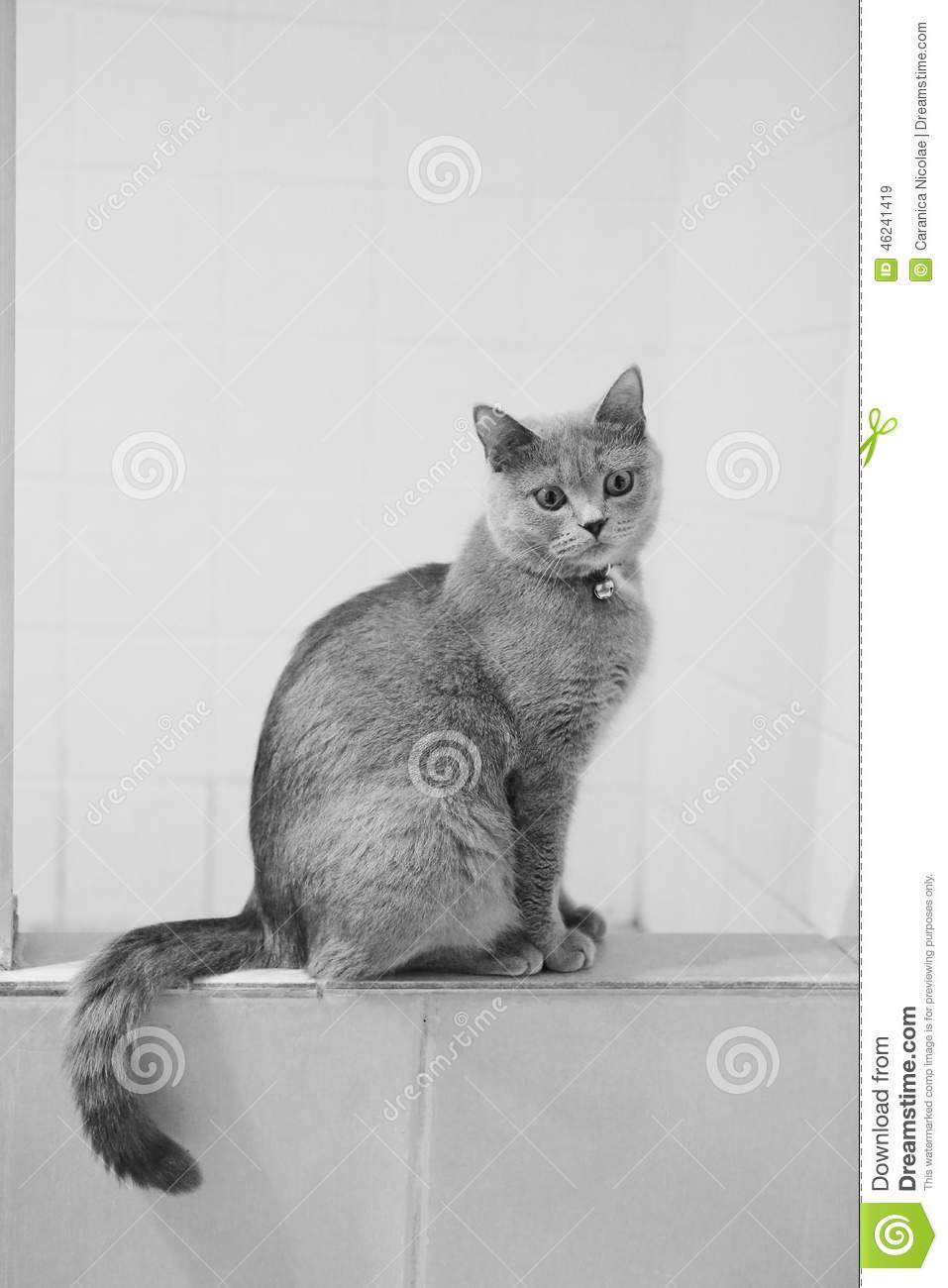 british-shorthair-cat-sitting-bathroom-beautiful-portrait-full-body ...