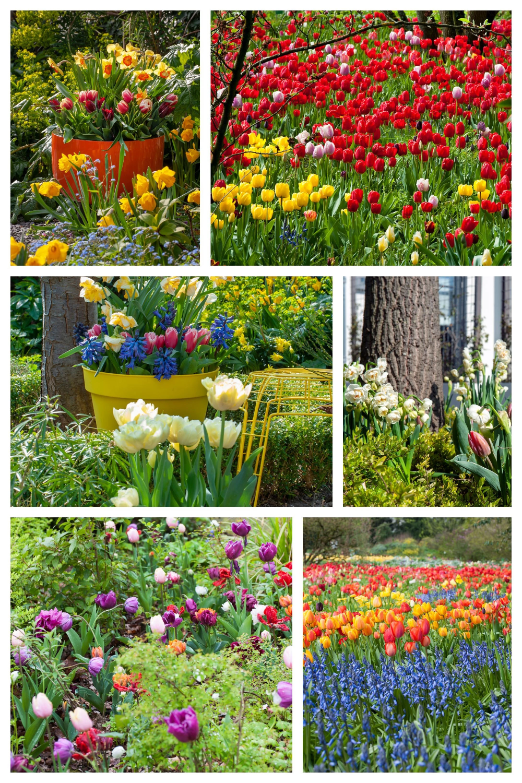 Tulipany W Ogrodzie Fot Ibulb Plants Outdoor Outdoor Structures