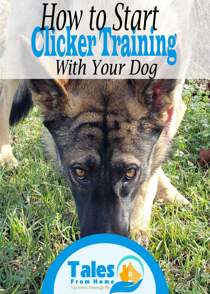 How To Clicker Train Your Dog Training Your Dog Dogs Dog Training