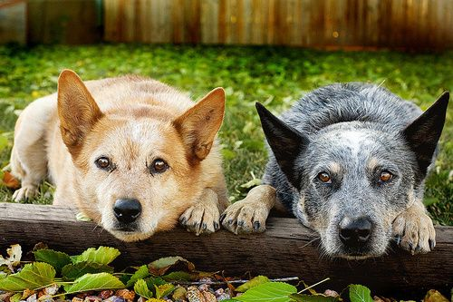 cutest blue heeler | red heeler |These two coul dbe Daisy