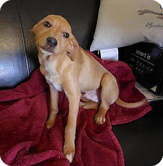 Foster Ri Feist Whippet Mix Meet Rolo A Puppy For Adoption
