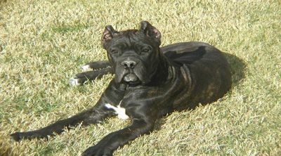 Millreef Cane Corso The True Beauty Of Perfection Our Dog Kyra