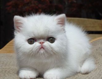 Persian american shorthair cat for sale