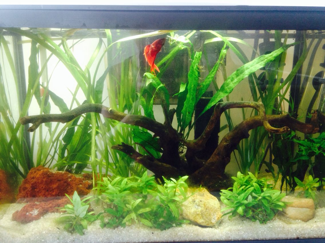 Red beta 5 gallon tank b ta fish pinterest betta for Fish for a 5 gallon tank