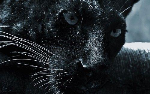 Jaguar Panther By Martha Lives We Heart It Black Jaguar Animal Black Panther Animal Wallpaper Black Jaguar Animal Wallpaper Black jaguar eyes wallpaper