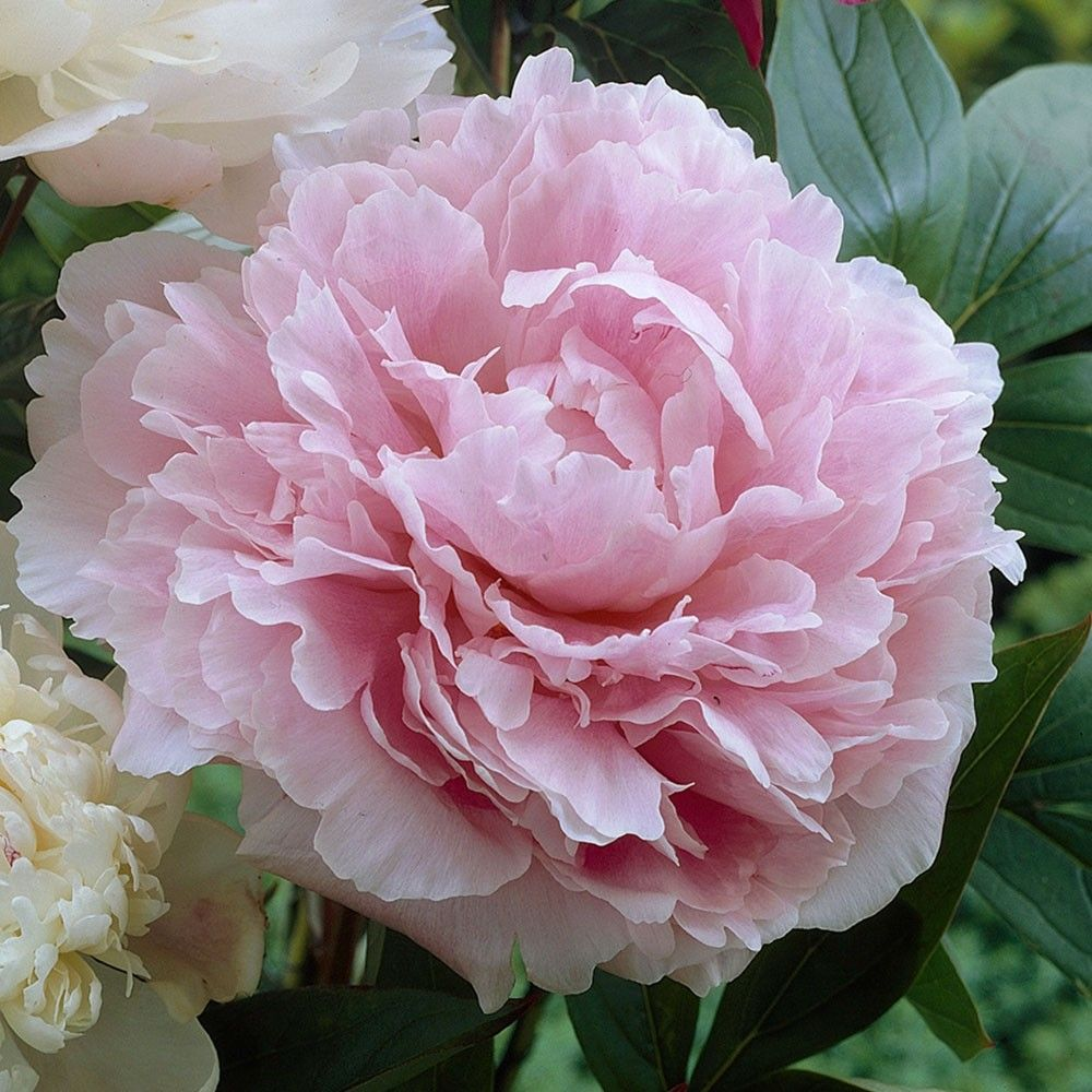 Giant scented double pink flowers in june july a fantastic gardens nvjuhfo Gallery