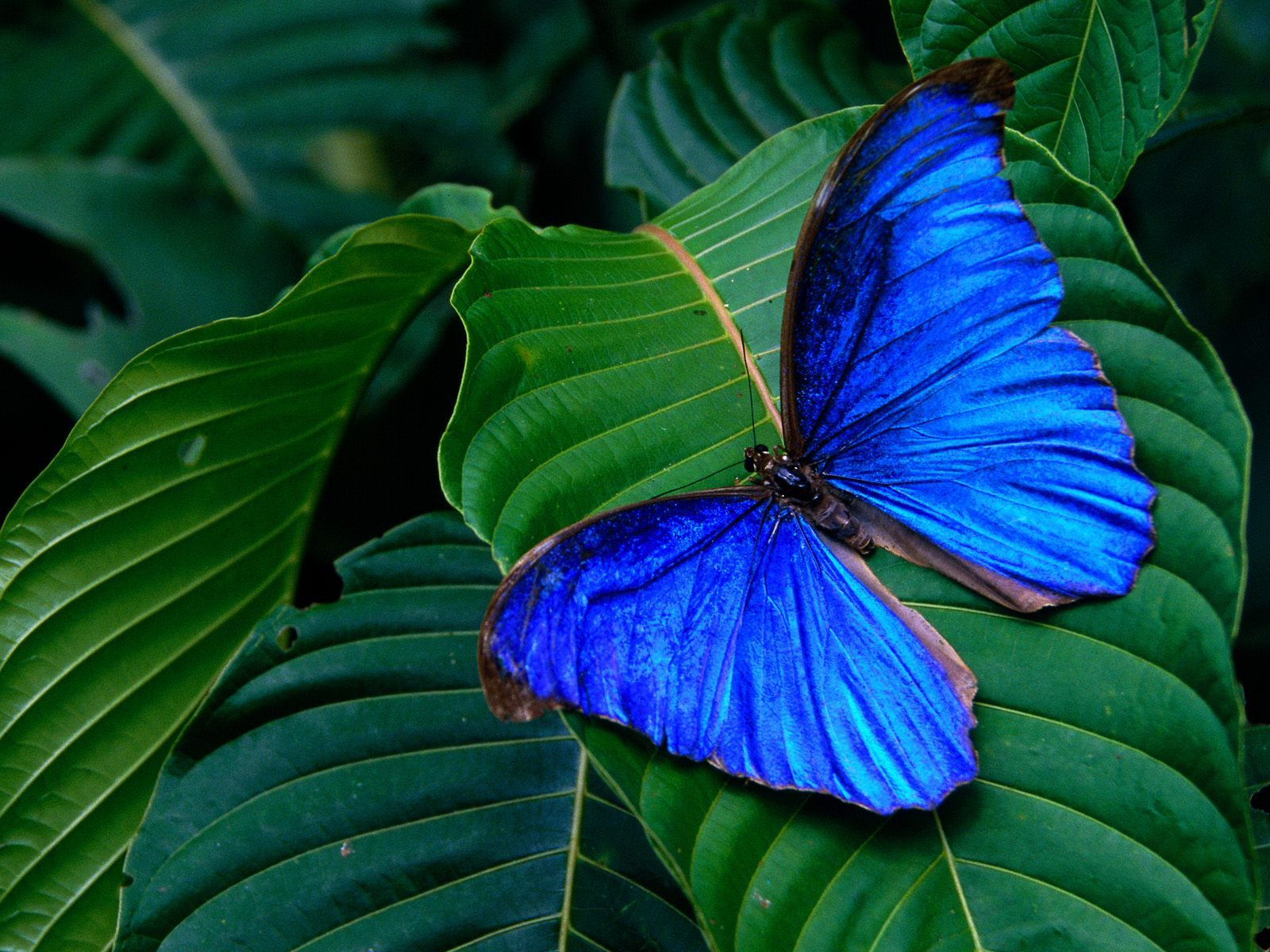 When its iridescent blue wings are open, the butterfly uses its shiny scales to blind and scare away predators.