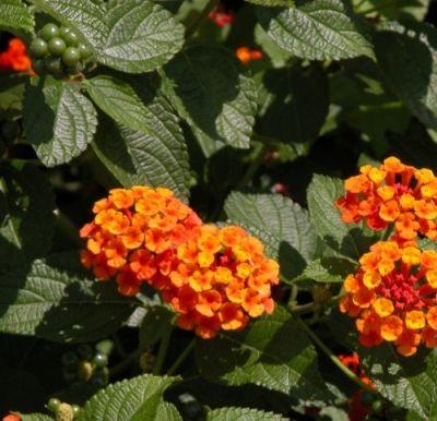 Lantana For The Poison Garden Plants Poisonous Plants Poison Garden