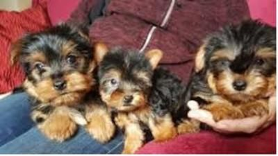 Home Raised Yorkie Puppies For Rehoming East Braintree Teacup Yorkie Puppy Teacup Yorkie