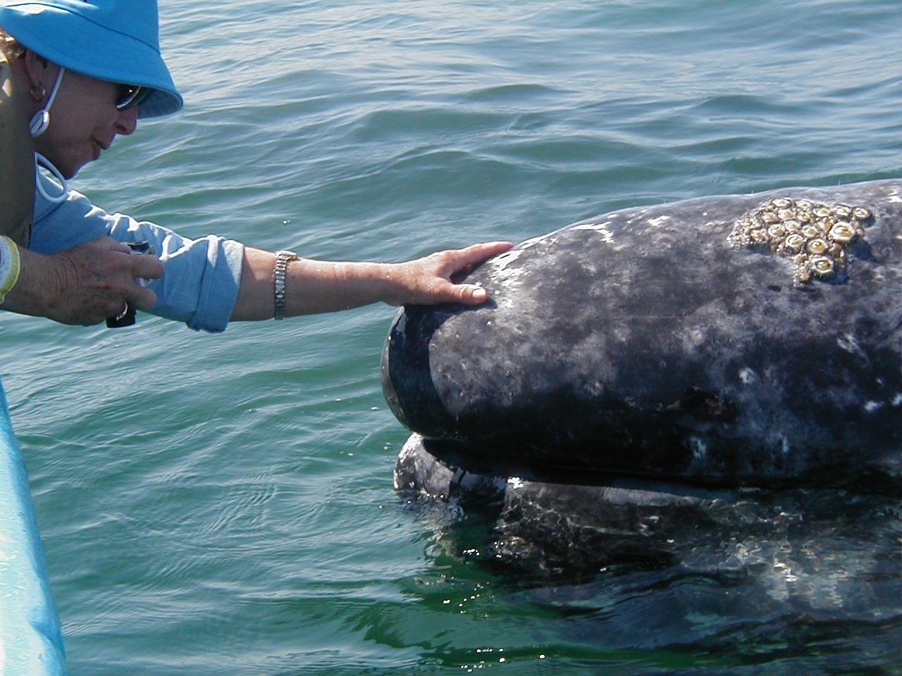 san ignacio lagoon baja california sur to pet the friendly grey