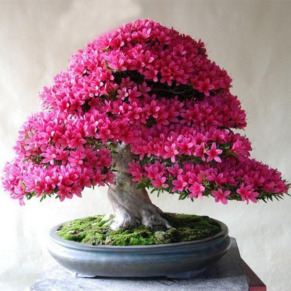100 pcs Azalea bonsai flower seeds RARE