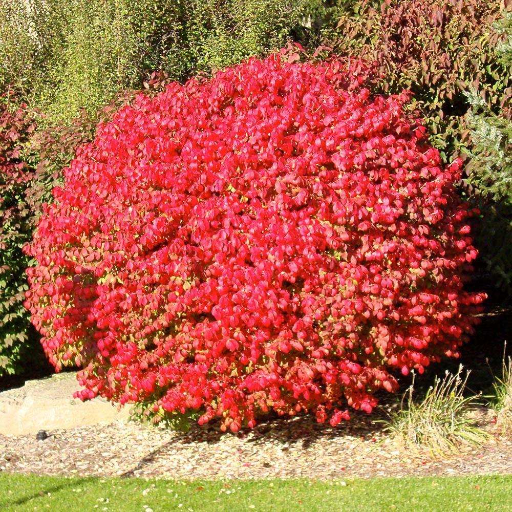 burning bush kaufen # 15