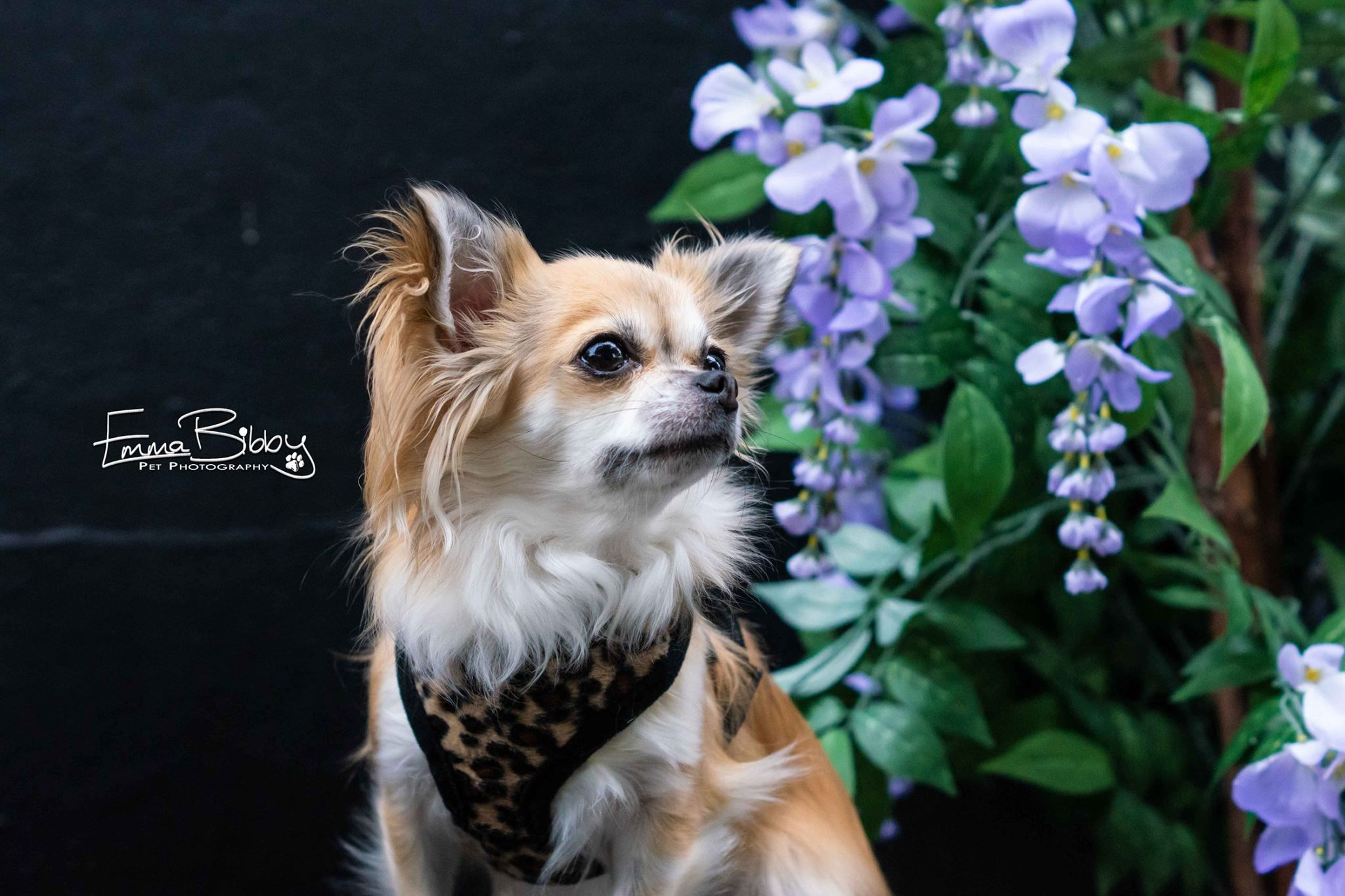 Big City Session With Janet The Long Haired Chihuahua In