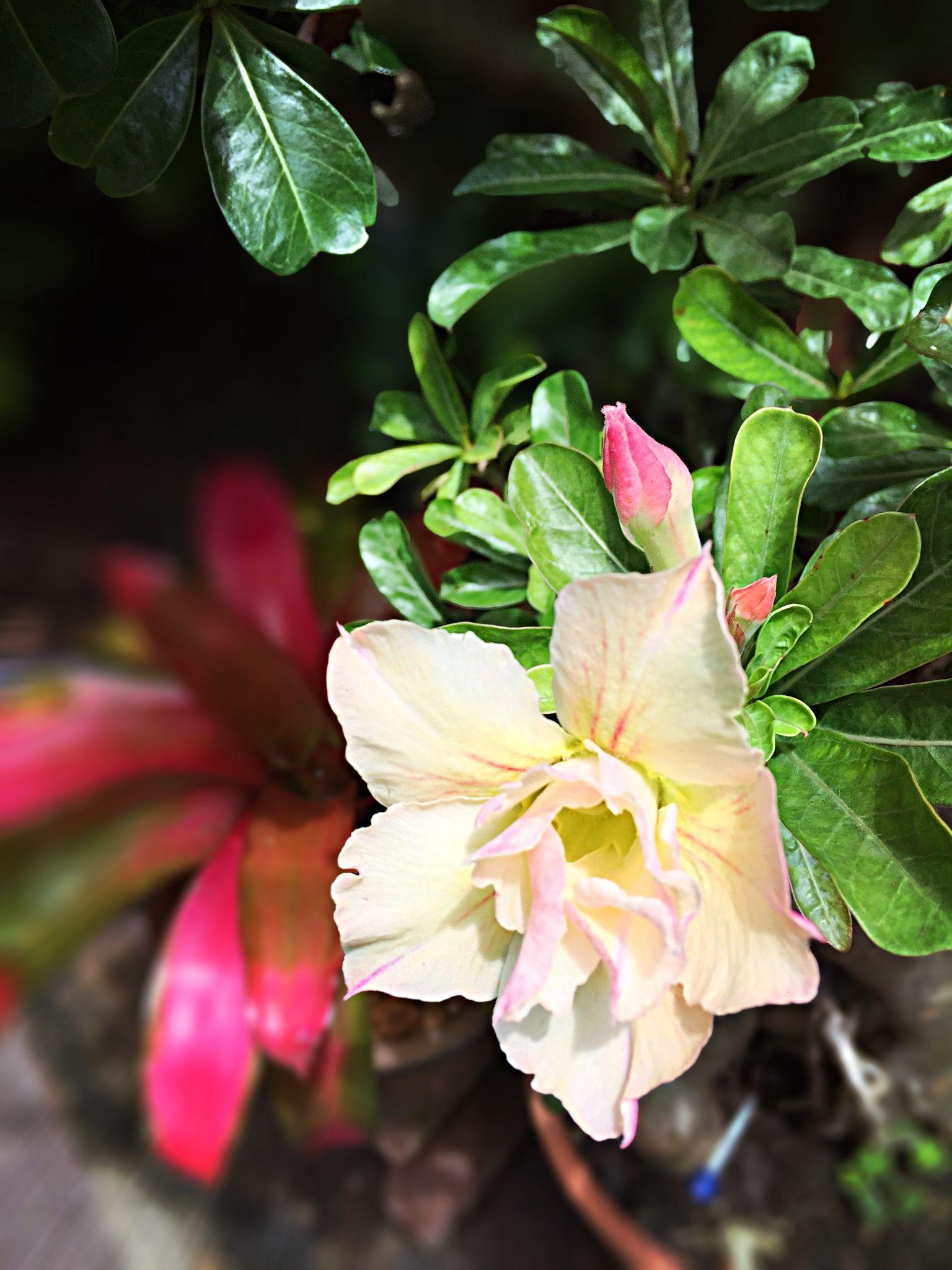 "Adenium obesum ""ชวนชม"" Desert Rose.🌺🌺🌺 chaichit's home 21"