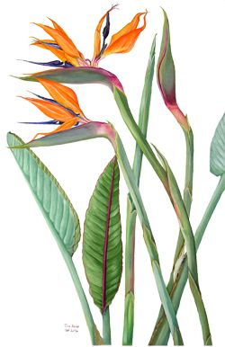 Bird Of Paradise Botanical Painting Botanical Watercolor Flower Painting