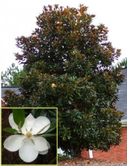 How To Grow The Dd Blanchard Magnolia Grandiflora Magnolias