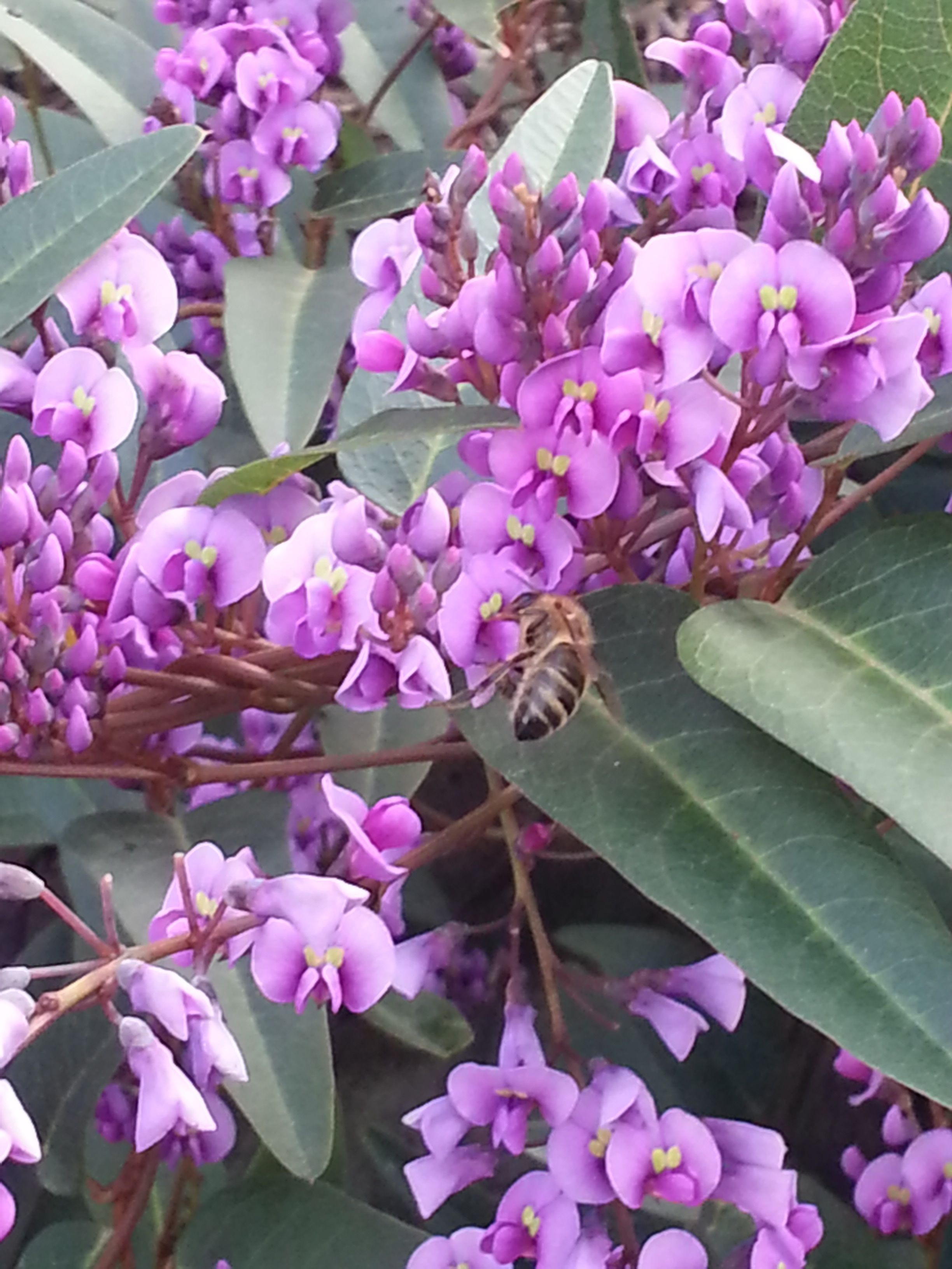 Hardenbergia Violacea Flora Flower Bee Insect Australia Native