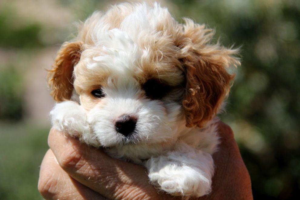 Cavashon puppies cavachon puppies cavachon cavachon dog