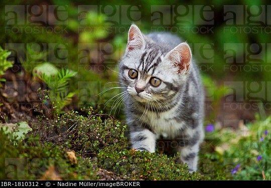Little Blue Golden Tabby British Shorthair Kitten In The Garden British Shorthair Kittens British Shorthair Golden Tabby