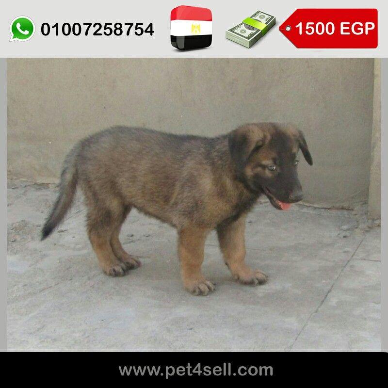 مصر القاهرة للبيع جراء مالينو عمر 45 يوم ذكور واناث متاح رؤية الاهالى عند الشراء Pet4sell Dogs Animals