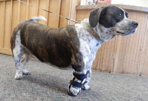 Maggie Has A Rotated Right Front Wrist And To Prevent The Carpal