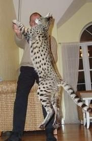 Savannah Cat. Can jump over 9 feet.... I need this cat