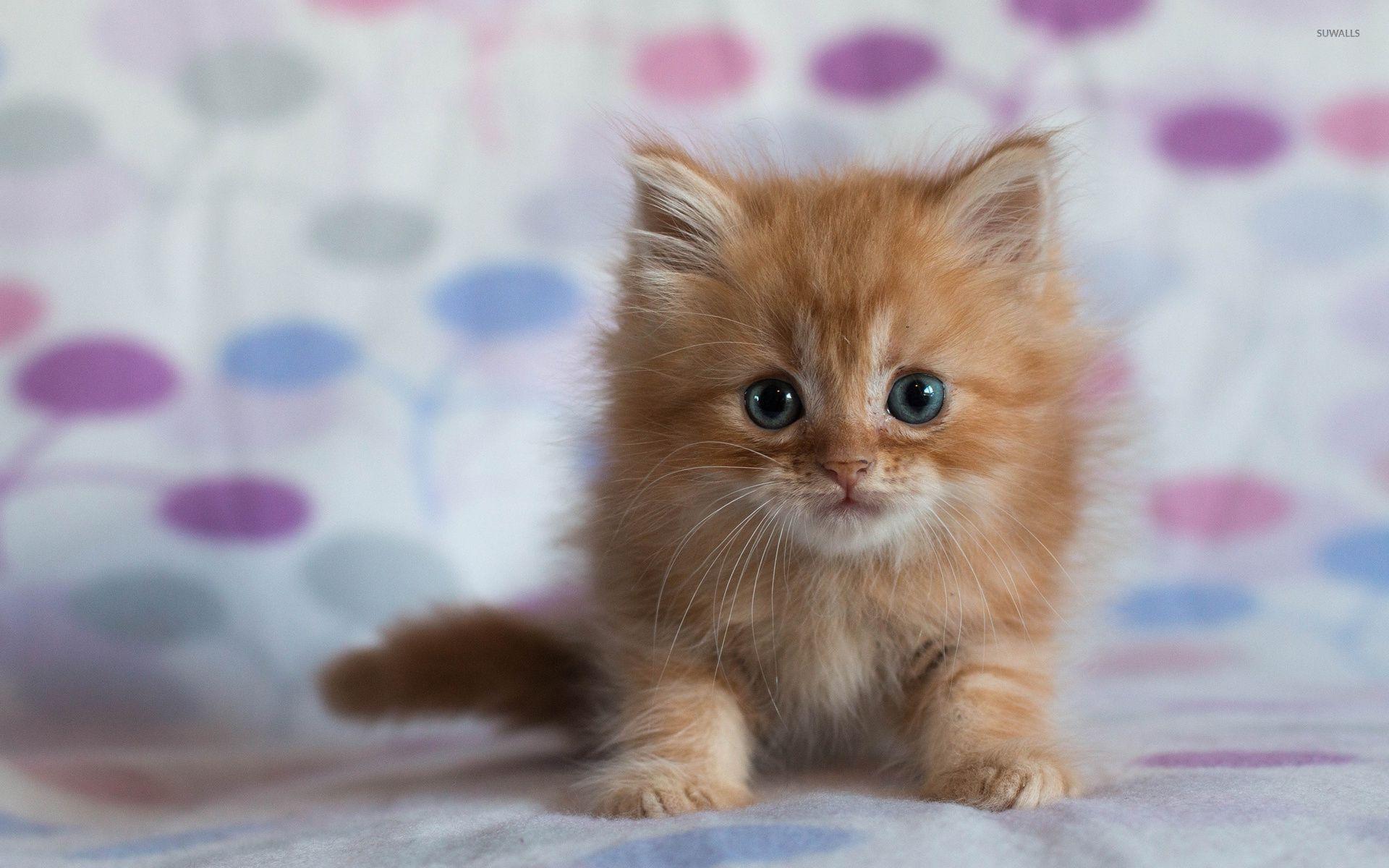 Fluffy Kitten Backgrounds Kitten Pictures Kittens Cutest Baby Kittens